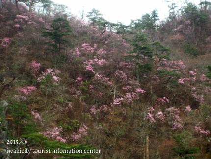 夏井川渓谷 岩ツツジ(アカヤシオ)6