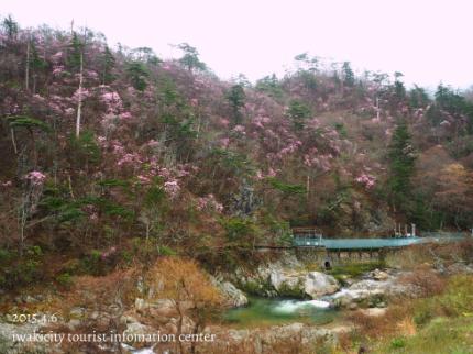 夏井川渓谷 岩ツツジ(アカヤシオ)5