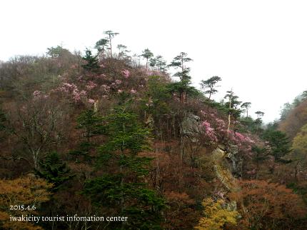 夏井川渓谷 岩ツツジ(アカヤシオ)7