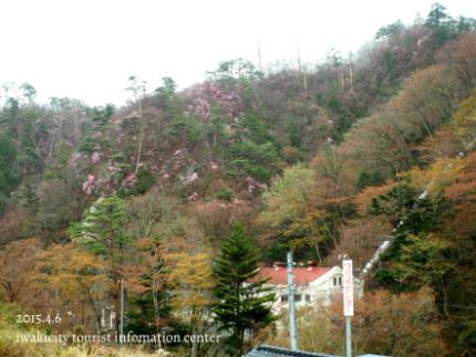 夏井川渓谷 岩ツツジ(アカヤシオ)8