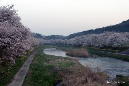 夏井の千本桜1