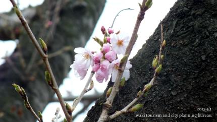 平成27年桜開花宣言3