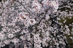 桜 2015040201
