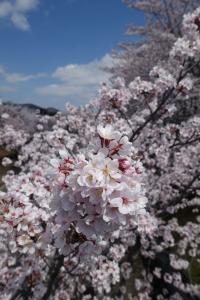 桜 2015040202