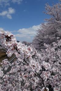 桜 2015040203