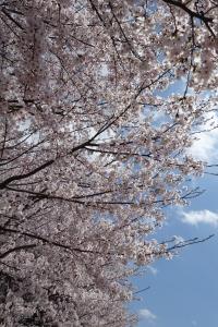 桜 2015040204