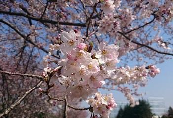 桜咲く2015