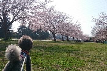 桜咲く2015-3