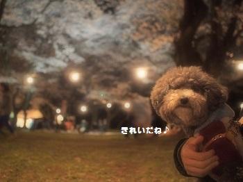 夜桜20150402-7