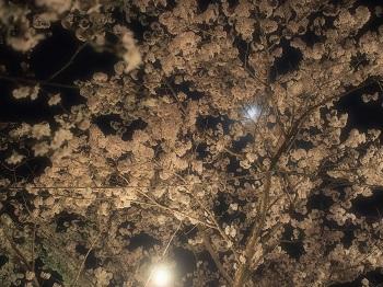 夜桜20150402-9