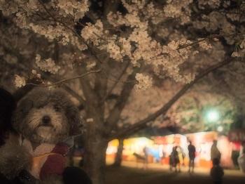夜桜20150402-10
