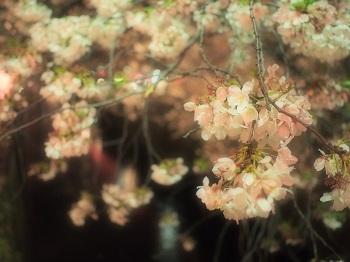 ジジさんin中目黒で夜桜さんぽ5