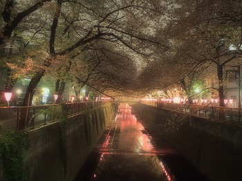 ジジさんin中目黒で夜桜さんぽ6