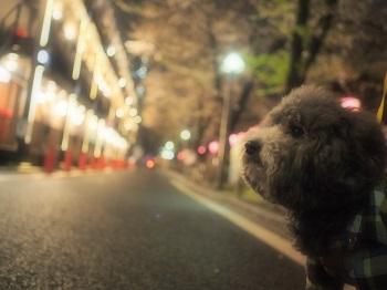 ジジさんin中目黒で夜桜さんぽ7