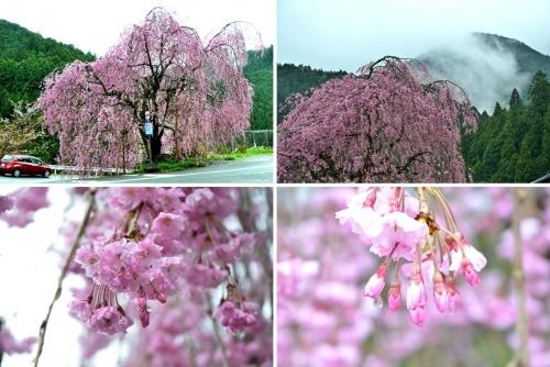 栃谷口バス停桜