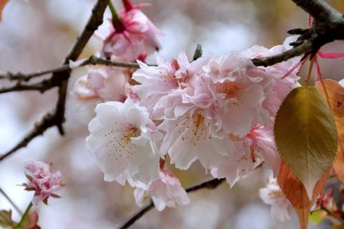 奈良九重桜1