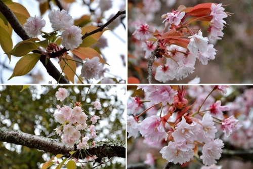 奈良八重桜2-1