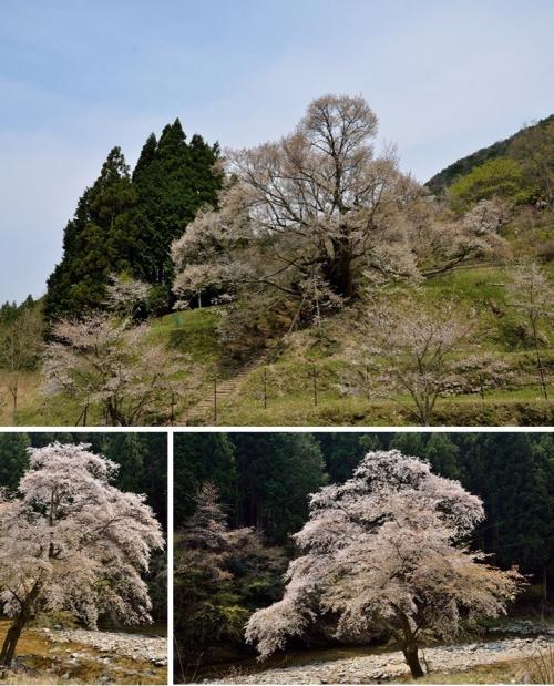 佛隆寺と川端桜