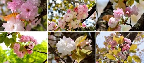 ②八重桜2