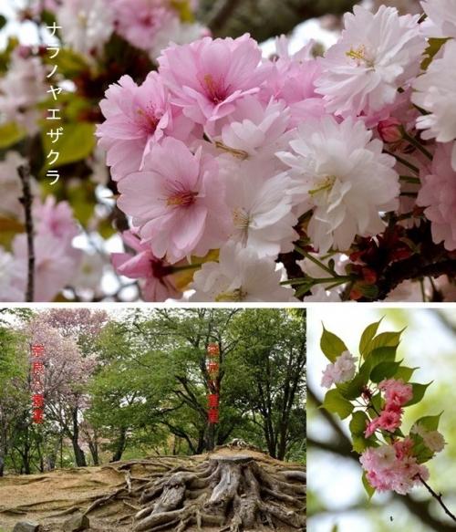 ①八重桜1
