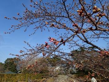 小室桜咲く