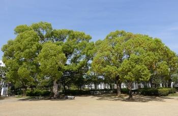常磐公園2本の樹