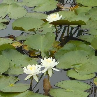 白い花⑤20150702