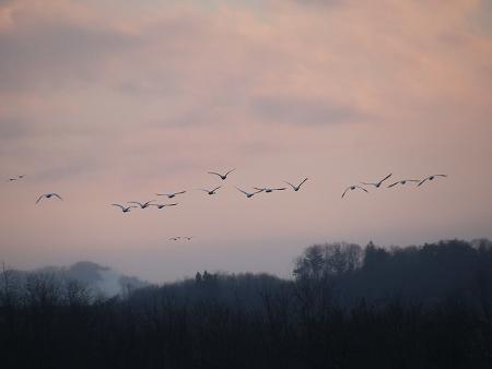 夕暮れ白鳥