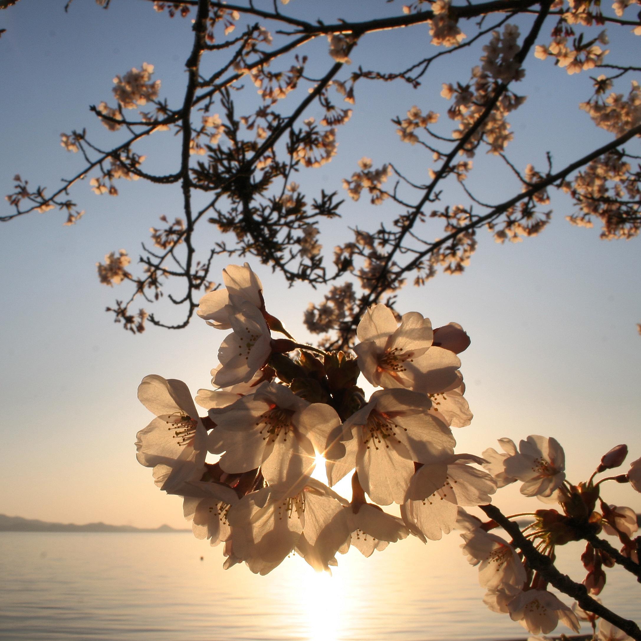 猪苗代湖の桜
