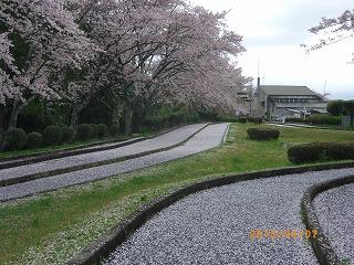 桜の絨毯です
