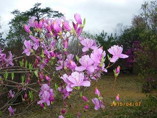 コバノミツバツツジ開花しています