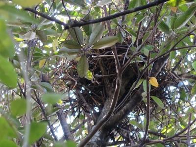 石垣島 鳥の巣