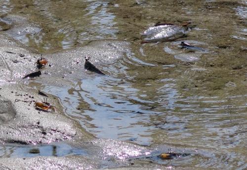 笛吹川 とんとんみーとシオマネキ