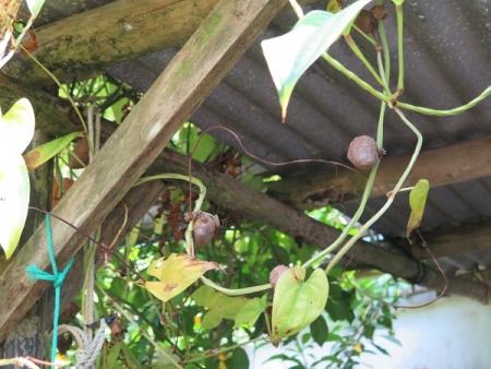 ヤマノイモの一種