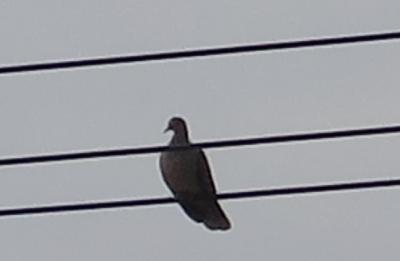 竹富島 鳩