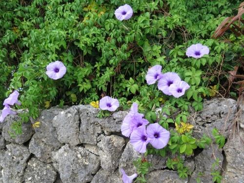 竹富島 モミジバアサガオ