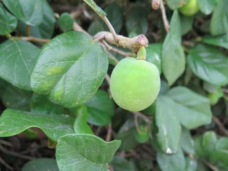 竹富島 緑の実