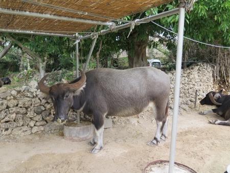 竹富島 水牛たん