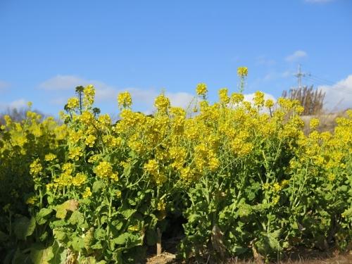 刈谷 菜の花
