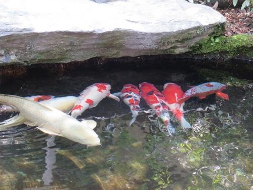 伊勢 でっかい鯉