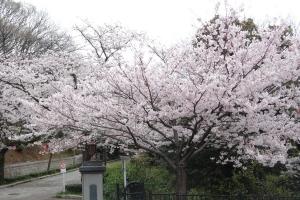 桜 (夜宮公園)