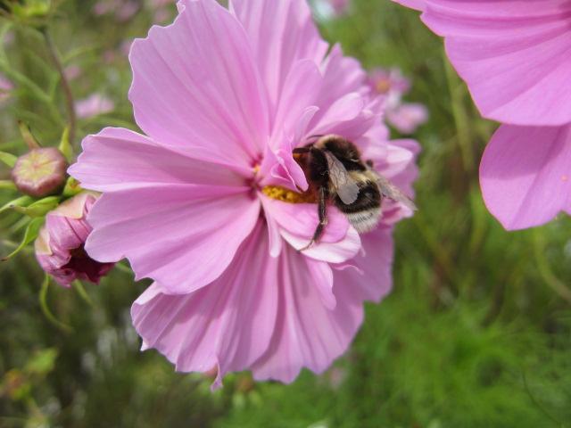 遠軽町のコスモス園 ハチさん