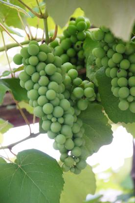 ジェラ葡萄