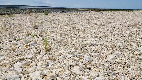 浜はサンゴや貝殻など