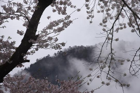 妙義の桜1