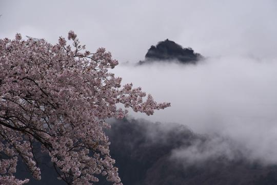 妙義の桜2