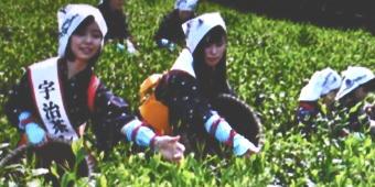 茶摘み1321-340