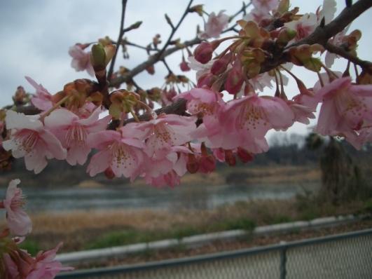 河津桜(南町公園)