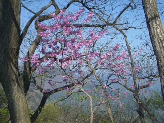 稜線に咲くアカヤシオ2