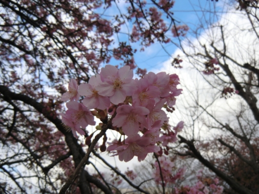 河津桜(市ノ坪公園)